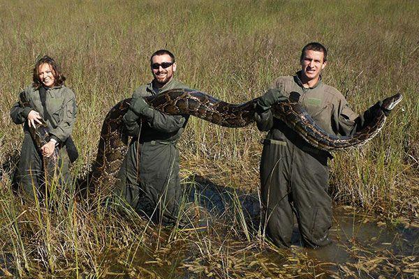 Змеи, которые съедают Флориду