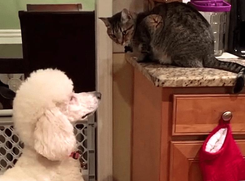 Мои кошки-4 (Про кота Микешу и собаку Чапли)