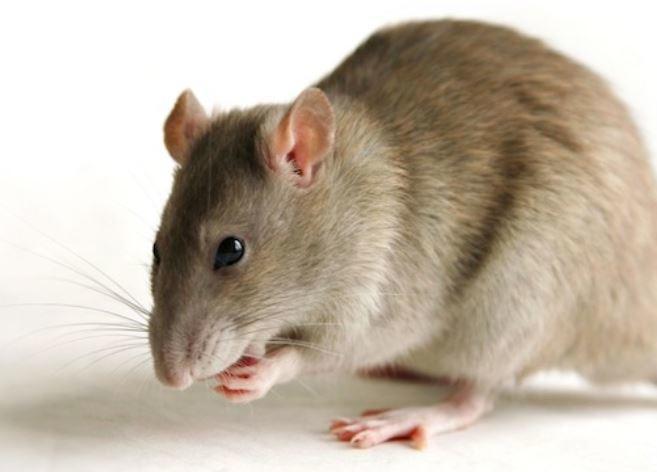 Уволили за крысу