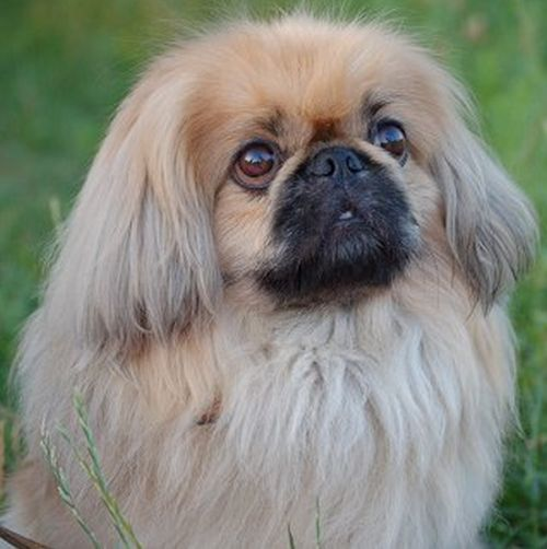 Пекинес — моя собака