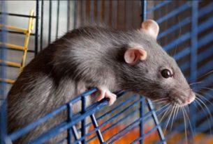 Назло мужу назвала крысу именем его любовницы