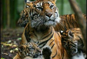 Тигры!