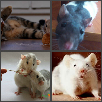 Как я приучил свою крысу Тарасика к туалету?