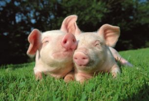 Покатушки на свинье