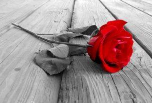Роза с могилки