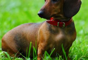 Вознаграждение за собаку